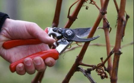 Как подготовить малину к зимнему периоду, советы и правила