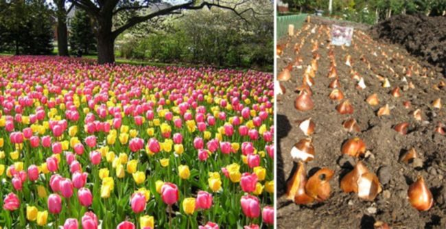 Как посадить тюльпаны осенью?