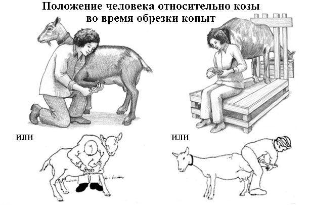 Poziția omului în legătură cu caprele în timpul copite tundere