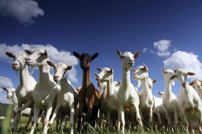 Prehrana treba biti uravnotežen koza.