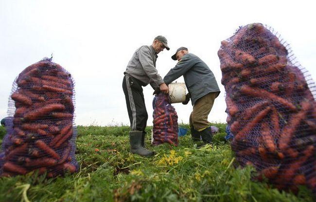 На фото уборка моркови, minsk-region.gov.by