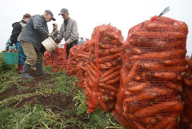 Фото сбора урожая моркови осенью, kosht.info