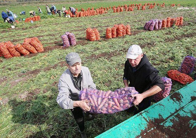 На картинке сбор урожая моркови, kosht.info