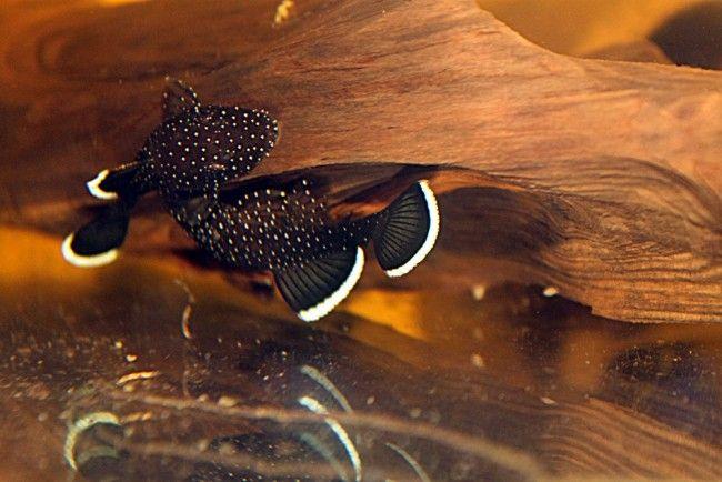 Анциструсы размножение в общем аквариуме