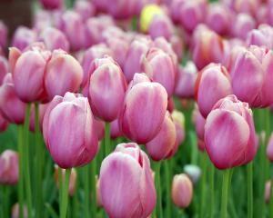 Как сажать и ухаживать за тюльпанами