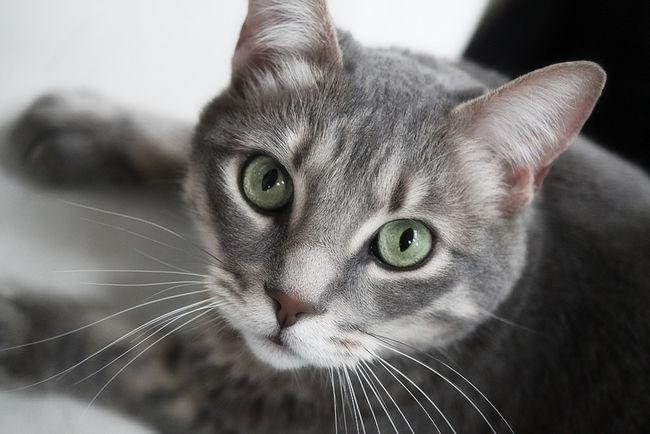 Kako napraviti klistir na mačka kod kuće?
