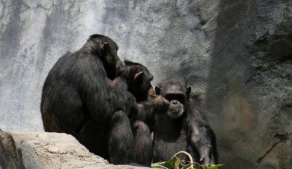 Шимпанзе распознают искажённую и зашумлённую речь
