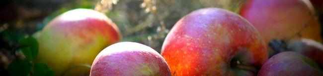 Kako zadržati jabuke za zimu - metoda iskusni vrtlari