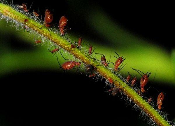 Тли помогли узнать, как растения реагируют на гусениц