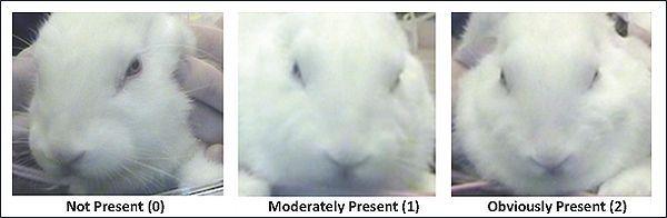 Mijenja oblik nosa i obraza zeca je u bol