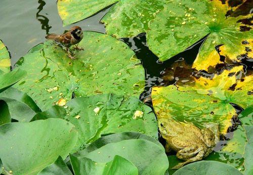 Как воробей стал жертвой лягушки-быка (bullfrog)