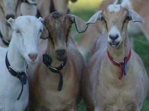 Kako odabrati pri kupnji kozu
