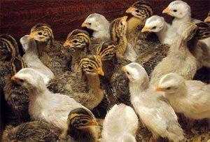 dieta păsări trebuie să conțină vitamine