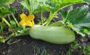 Как вырастить кабачки? Высадка, уход, сбор урожая