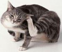 kako bi se prikazao buve u mačke