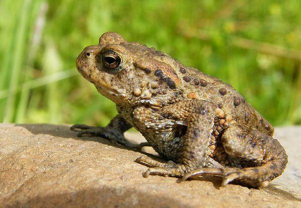 U 2009. godini, žabe su bili u stanju da predvidi zemljotres u italijanskoj pokrajini L'Aquila.