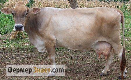 Schwyz plemeno kráva