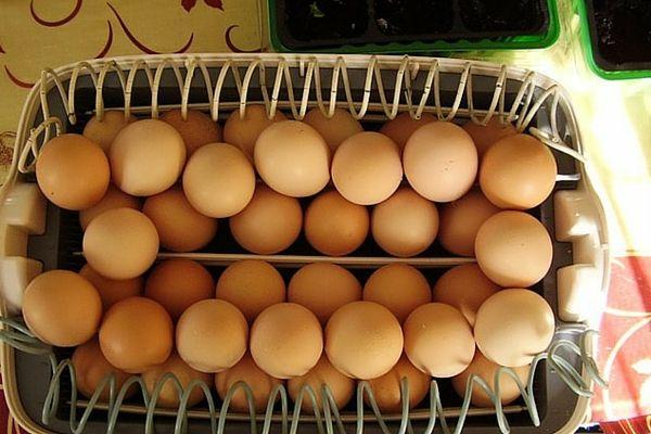 Закладка куриных яичек в лотки