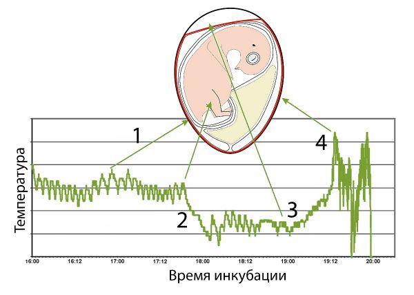 Влияние температуры на процесс инкубации