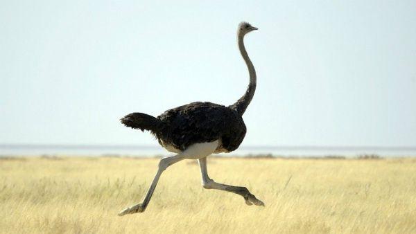 Běžící pštrosa afrického v savaně