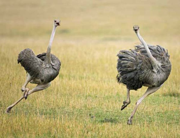 Dvě pštrosí utíkat před nebezpečím