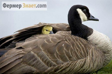 Какая температура оптимальная для содержания молодняка гусей?