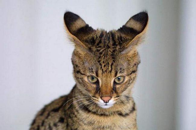 Savannah - hibrid divlje afričke mačke i jednostavna kućna mačka.
