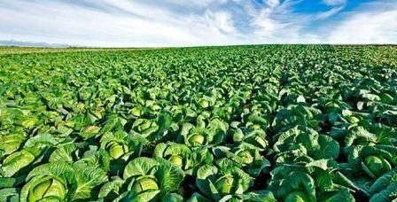 Какие культуры можно посадить после капусты на следующий год