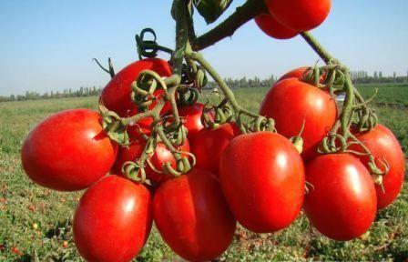 paradajz sorte otporne na plamenjaču za plastenike