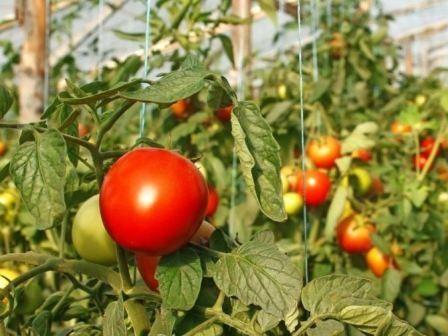 paradajz rezonanca
