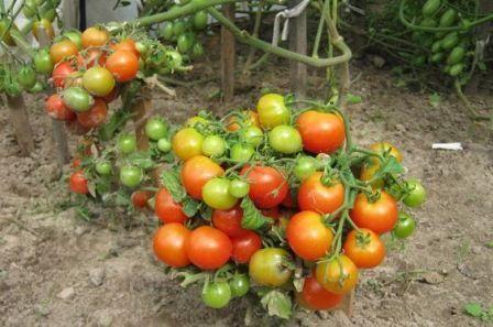 paradajz patuljak