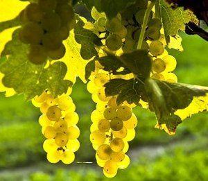«Шардоне» - идеальный сорт для вина