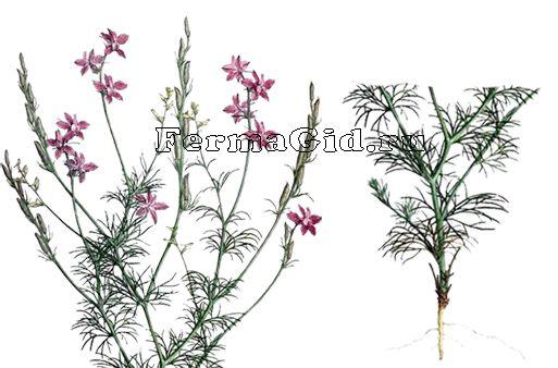horned Cornflower