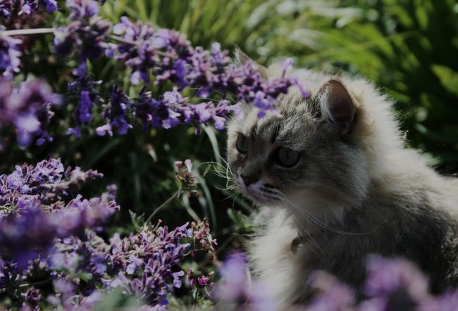 Ono što miris Ne volim mačke: repelent mirisa