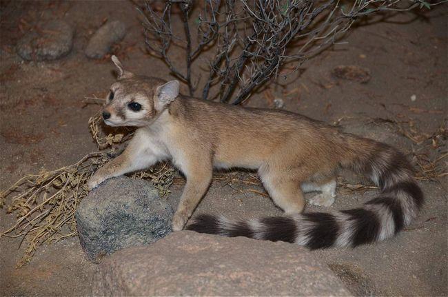 У какомицли немного природных врагов, но и те опасны для беззащитного зверька.