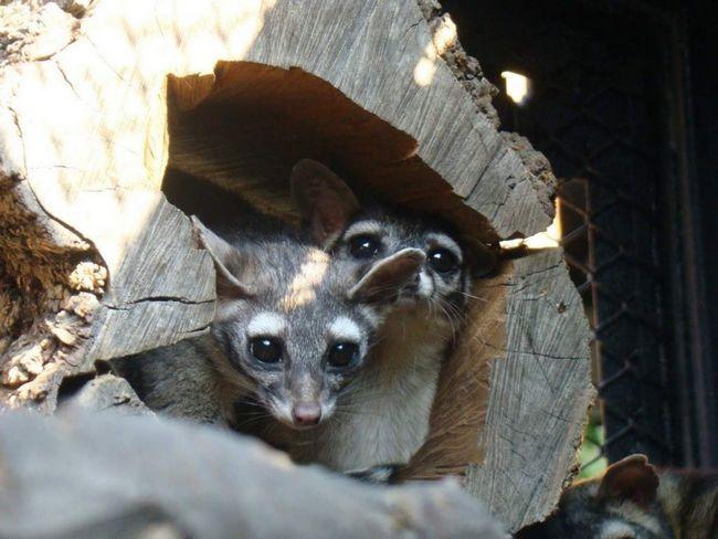 Естественными врагами для какомицли являются совы, койоты и рыжие рыси.