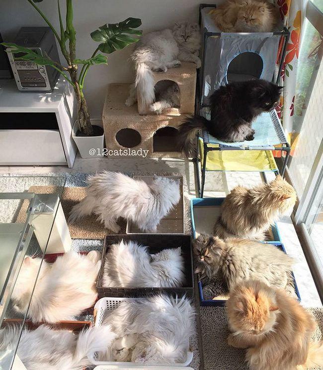 Šta je to - živjeti sa 12 perzijski mačke