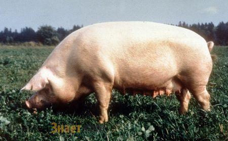 breit svinja