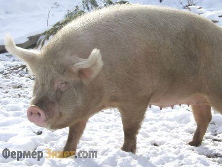 Sibirski sjevernom svinja