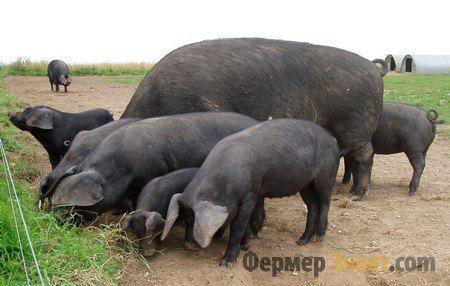 Veliki crni svinja rase