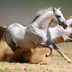 Rychlý běh koně