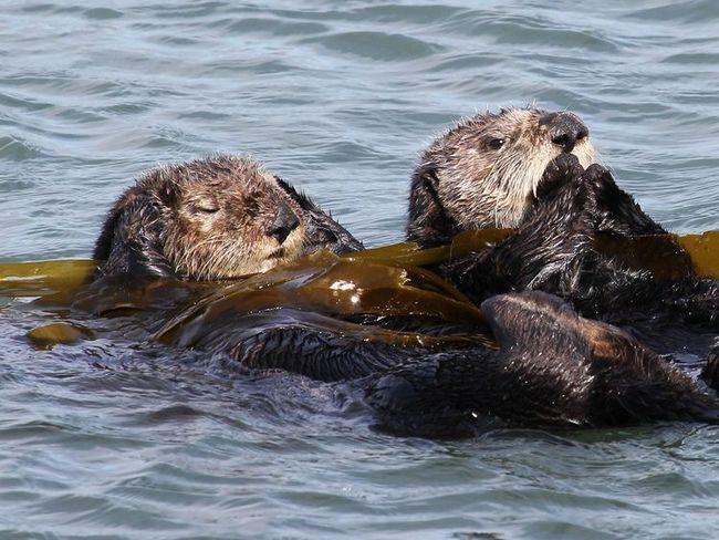 Morskih vidri zamotati alge tokom sna.