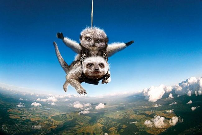 Funny kalendář představovat surikaty zapojené do extrémních sportů.