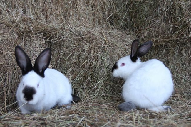 Kalifornijska Rabbits uzgajati