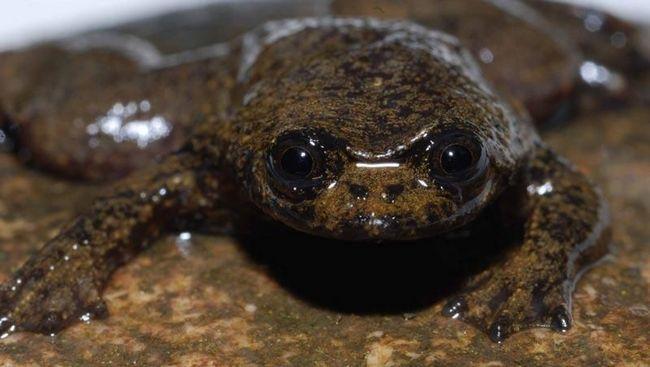 Borneanski ravnim čelu žaba