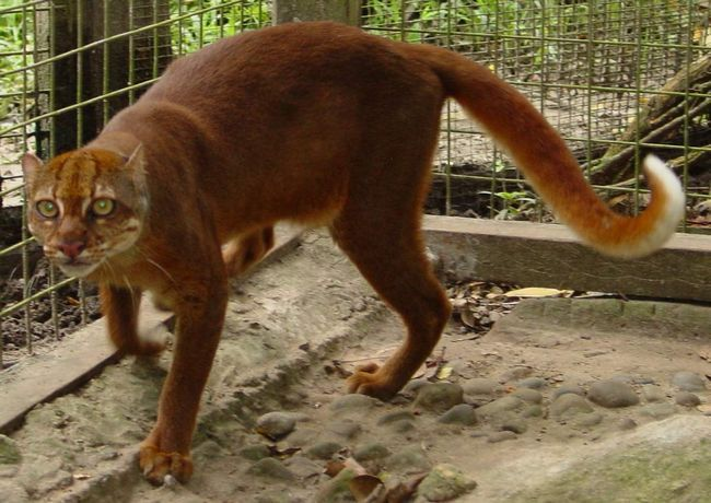 Калимантанская кошка (Catopuma badia).
