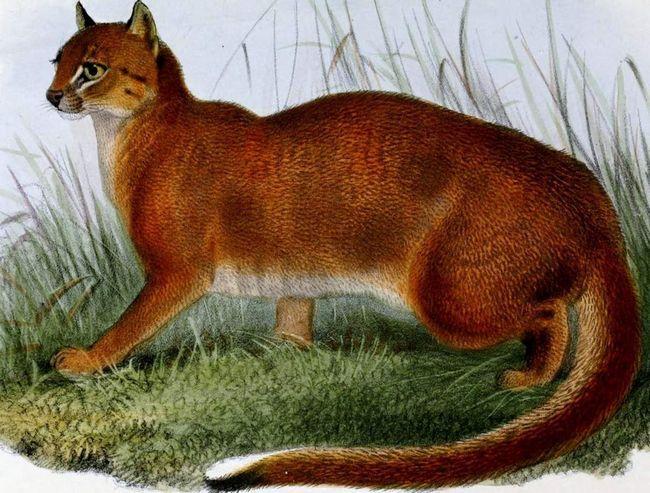 По внешнему виду калимантанская кошка небольшая, но очень симпатичная и грациозная.