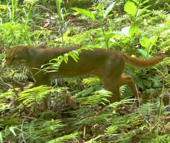 На калимантанских кошек ведут активную охоту местные браконьеры.