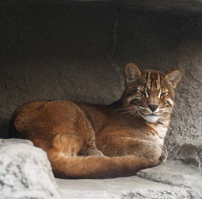 Вследствие вырубки большого количества леса, эти животные лишены среды обитания, охоты и жизни в целом.