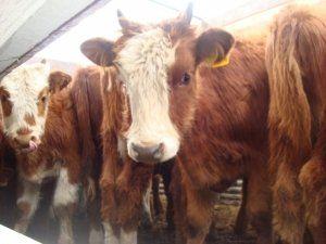 V zime sa kravy kompenzovať nedostatok tukových zásob potravín